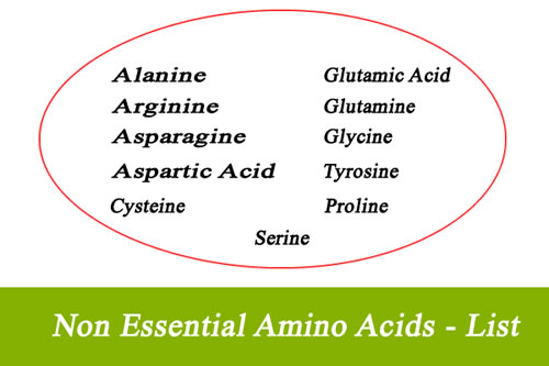 List of Non-Essential Amino Acids